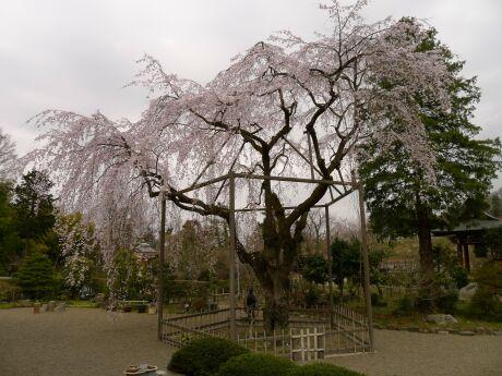 心源院の桜2.jpg