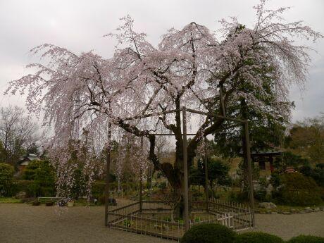 心源院の桜3.jpg