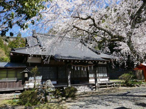 感応寺の枝垂れ桜.jpg