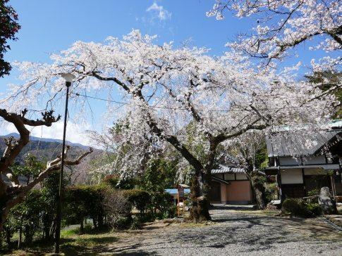 感応寺の枝垂れ桜2.jpg