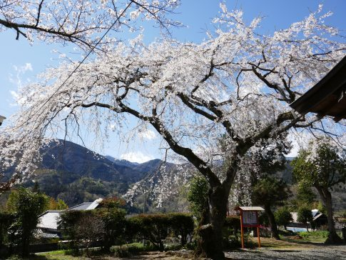 感応寺の枝垂れ桜3.jpg