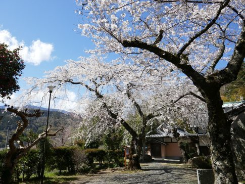 感応寺の枝垂れ桜4.jpg