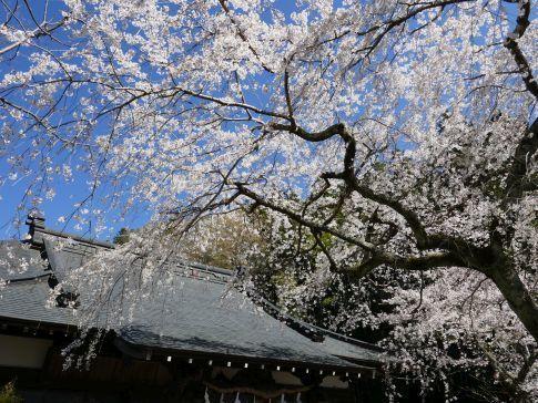 感応寺の枝垂れ桜5.jpg
