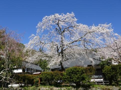 感応寺の枝垂れ桜6.jpg