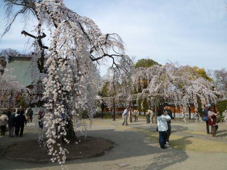 慈眼寺の桜201101.jpg