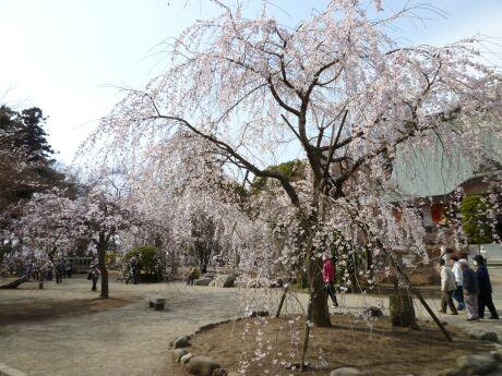 慈眼寺の桜201102.jpg