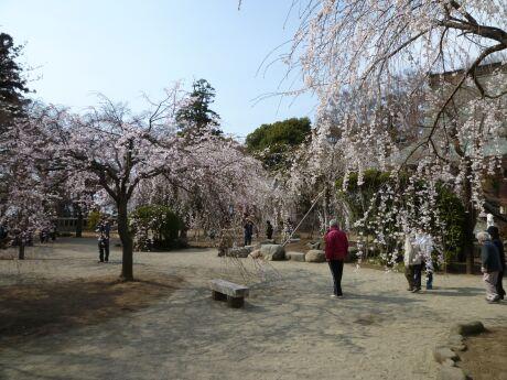 慈眼寺の桜201103.jpg