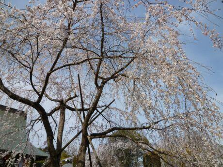 慈眼寺の桜201104.jpg