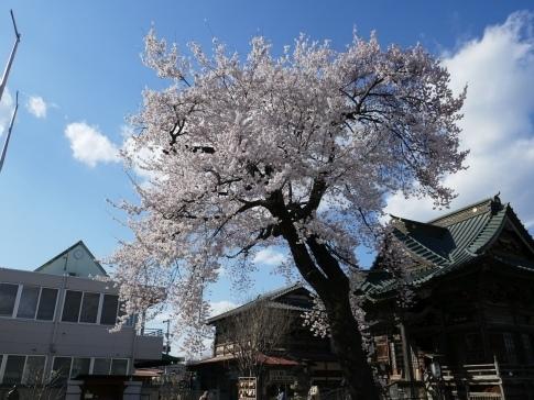 慈眼寺の桜201903.jpg