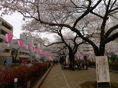 播磨坂の桜2.jpg