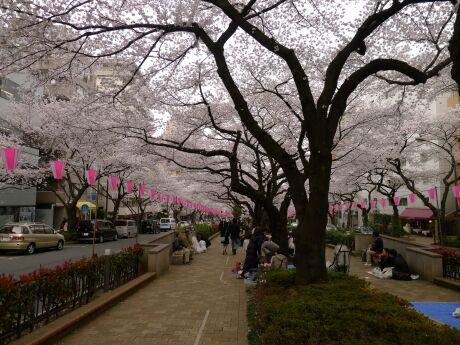 播磨坂の桜3.jpg