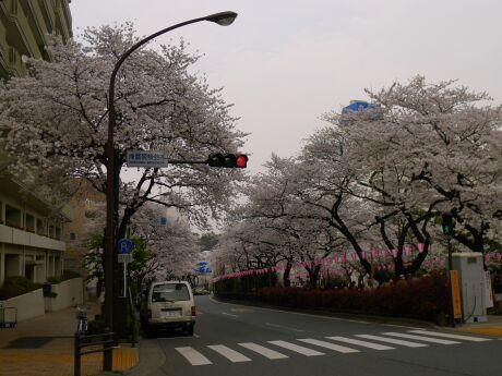 播磨坂の桜4.jpg