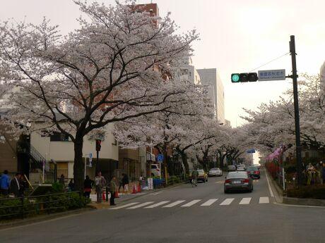 播磨坂の桜5.jpg