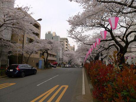 播磨坂の桜1.jpg