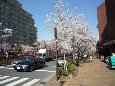 播磨坂の桜20194.jpg