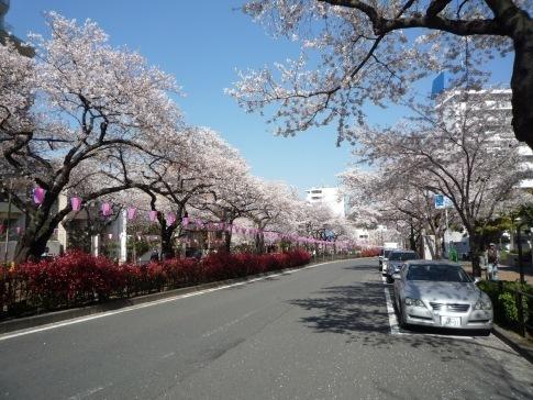 播磨坂の桜20195.jpg