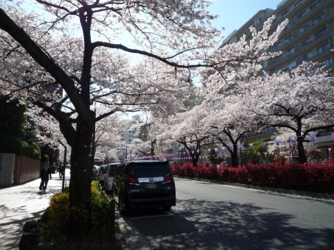 播磨坂の桜20196.jpg