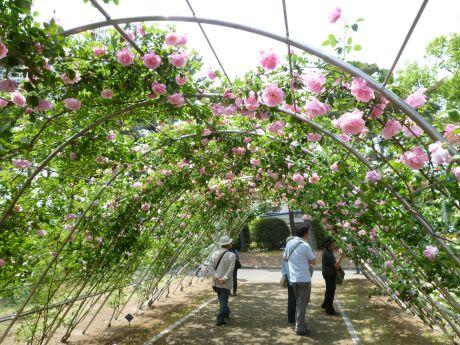 敷島公園 ばら園 バラのトンネル.jpg