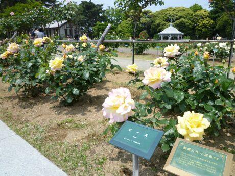 敷島公園 ばら園3.jpg
