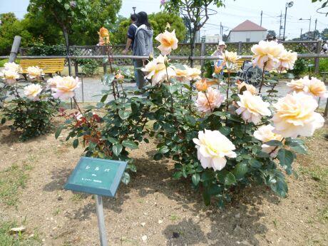 敷島公園 ばら園5.jpg