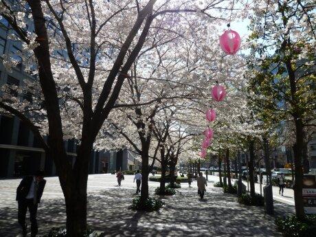 文化女子大学前の桜3.jpg