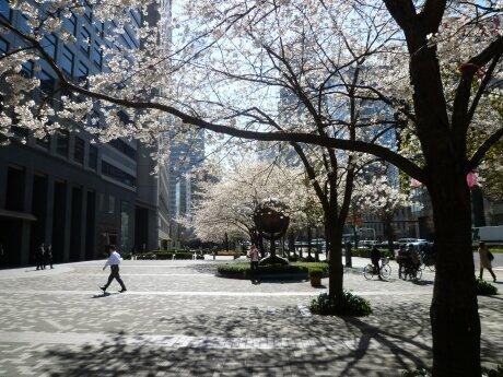 文化女子大学前の桜4.jpg
