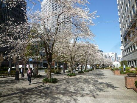 文化女子大学前の桜5.jpg