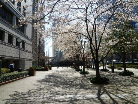 文化女子大学前の桜6.jpg