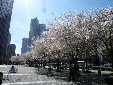 文化女子大学前の桜1.jpg