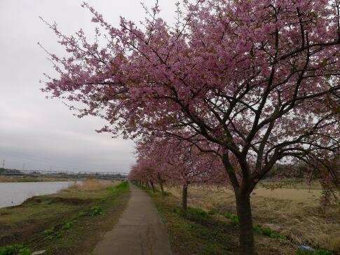 新川沿いの桜3.jpg