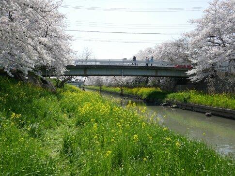 新河岸川沿いの桜5.jpg