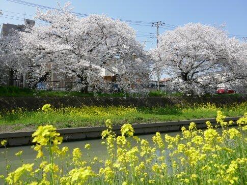 新河岸川沿いの桜6.jpg