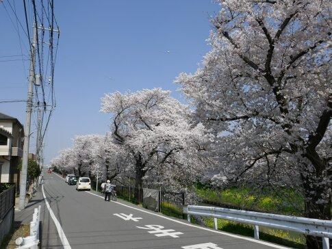 新河岸川沿いの桜7.jpg