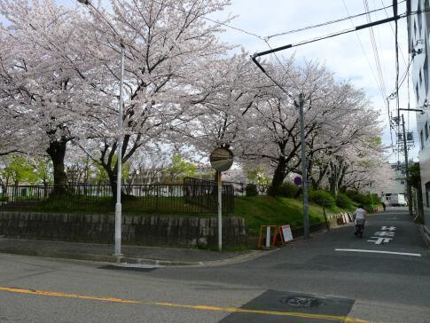 新福寺公園の桜.jpg