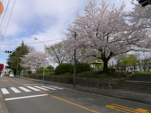 新福寺公園の桜5.jpg