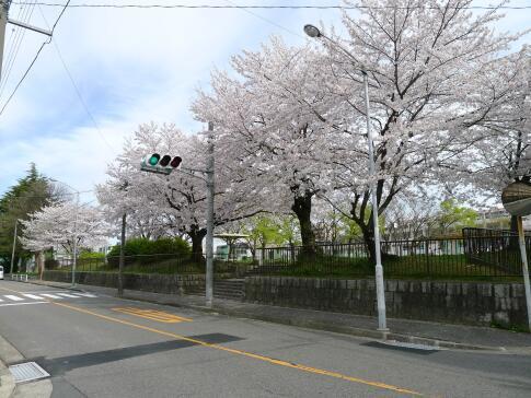 新福寺公園の桜6.jpg