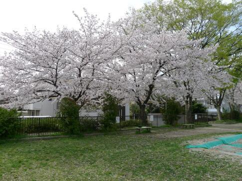 新福寺公園の桜2.jpg