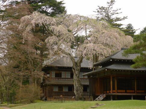 日光田母沢御用邸の桜.jpg