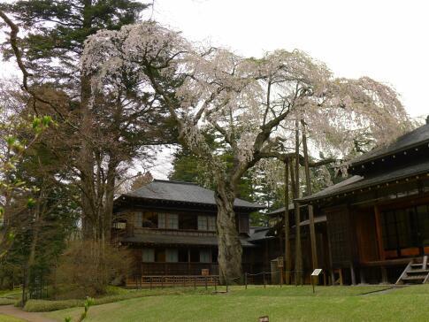 日光田母沢御用邸の桜2.jpg