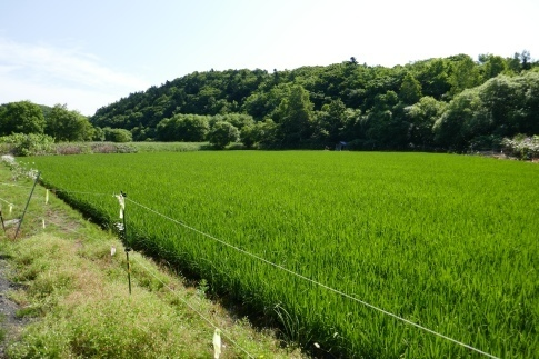 日本最北の水田3.jpg