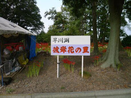 早川渕彼岸花の里.jpg
