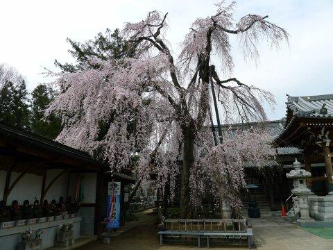 明見院の枝垂れ桜2.jpg