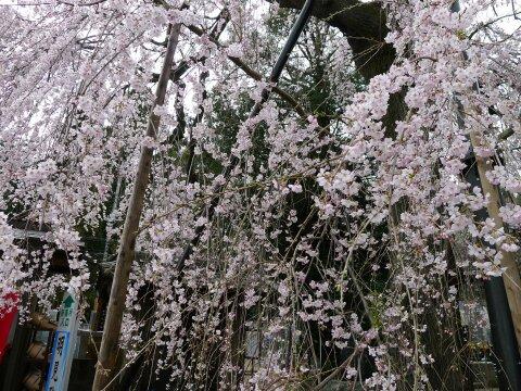 明見院の枝垂れ桜3.jpg