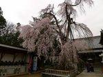 明見院の枝垂れ桜4.jpg