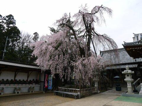 明見院の枝垂れ桜1.jpg