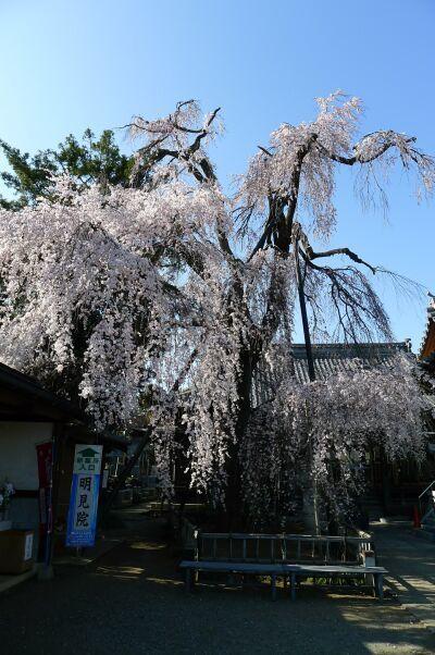 明見院枝垂れ桜201502.jpg