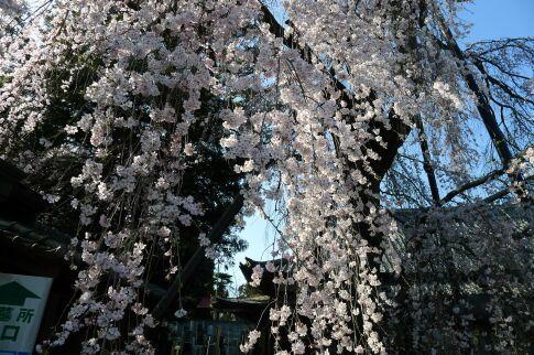 明見院枝垂れ桜201503.jpg
