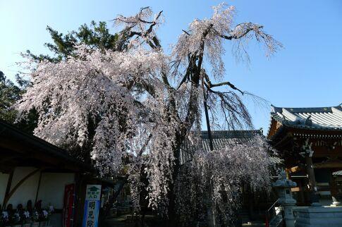 明見院枝垂れ桜201501.jpg
