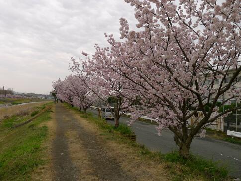 春木径・幸せ道の桜.jpg