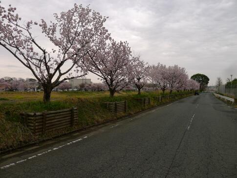 春木径・幸せ道の桜2.jpg